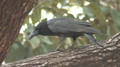 Large-billed Crow Adult Lone Feeding Spring Stock Footage