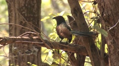 Greater Coucal Adult Lone Spring Stock Footage