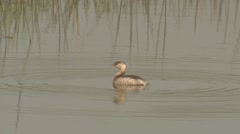 Little Grebe Lone Spring Stock Footage