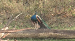 Peafowl Male Adult Lone Calling Spring Peacock Log Call Stock Footage