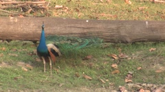 Peafowl Male Adult Lone Breeding Spring Peacock Tail Feather Display Stock Footage