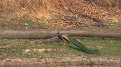Peafowl Male Adult Lone Running Spring Peacock Log - stock footage