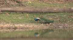 Peafowl Male Adult Lone Calling Spring Peacock Stock Footage