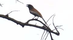 Rufous Treepie Adult Lone Spring Stock Footage