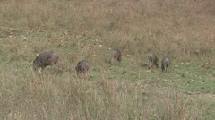 Wild Boar Adult Young Herd Feeding Spring Pig Zoom Out - stock footage
