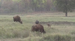 Gaur Bull Cow Adult Young Herd Feeding Spring Dusk Stock Footage