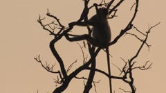 Gray Langur Monkey Adult Lone Spring Sunrise Orange Sky Morning Branches Stock Footage