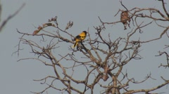 Black-hooded Oriole Male Adult Lone Spring Stock Footage