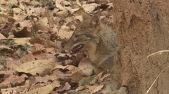Golden Jackal Adult Lone Resting Spring Face Mouth Closeup Stock Footage