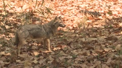 Golden Jackal Lone Standing Spring Stock Footage