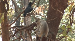 Gray Langur Monkey Adult Lone Resting Spring Stock Footage