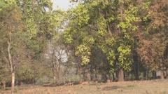Spotted Deer Herd Feeding Spring Forest Habitat Trees Stock Footage