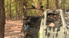 Large-billed Crow Adult Lone Feeding Spring Garbage Jeep Tourism Stock Footage