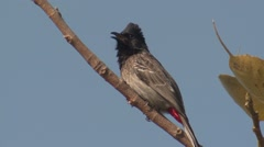 Red-vented Bulbul Adult Lone Resting Spring Stock Footage