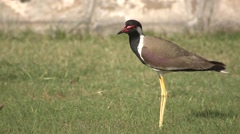 Red-wattled Lapwing Adult Lone Standing Spring Lawn Stock Footage