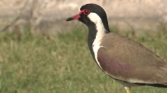 Red-wattled Lapwing Adult Lone Spring Closeup Stock Footage