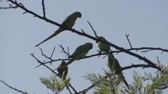 Rose-ringed Parakeet Adult Flock Spring Backlight Stock Footage