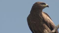 Tawny Eagle Lone Resting Spring Face Beak Eyes - stock footage