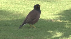 Common Myna Adult Lone Spring Lawn Urban Wildlife Stock Footage
