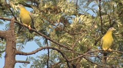 Yellow-footed Green Pigeon Adult Pair Spring Stock Footage