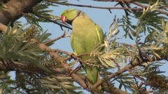 Rose-ringed Parakeet Male Adult Lone Resting Spring Wind Stock Footage