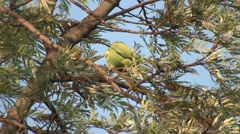 Rose-ringed Parakeet Male Adult Lone Spring - stock footage