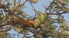 Rose-ringed Parakeet Female Lone Feeding Spring Stock Footage