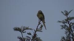 Rose-ringed Parakeet Lone Grooming Spring Dusk Stock Footage