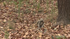 Gray Langur Monkey Immature Pair Playing Spring Wrestling Jumping Slow Motion - stock footage