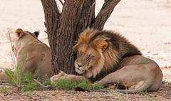 Botswana, Kgalagadi District, Kgalagdi Transfrontier Park, Male lion hugging Stock Photos