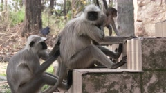 Gray Langur Monkey Adult Young Several Grooming Dry Baby Urban Steps - stock footage