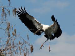 USA, Florida, Orange County, Orlando, Wood Stork (Mycteria americana) in flight Stock Photos