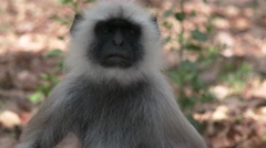 Gray Langur Monkey Adult Lone Dry Face Stock Footage