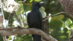 Large-billed Crow Lone Resting Dry Forest Trees Stock Footage
