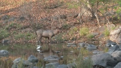 Sambar Male Adult Lone Feeding Dry Wetland Pond Zoom In Stock Footage