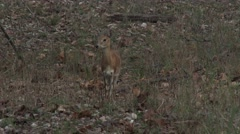 Reeves Muntjac Lone Dry Dusk Low Light Zoom Out Stock Footage