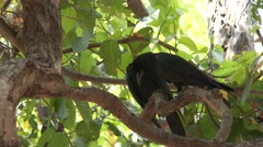 Large-billed Crow Adult Pair Dry Picking Parasites Feathers Stock Footage