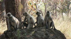 Gray Langur Monkey Adult Young Several Scratching Dry Rock Forest Shade Stock Footage