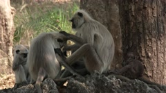 Gray Langur Monkey Adult Young Several Grooming Dry Baby Newborn Infant - stock footage