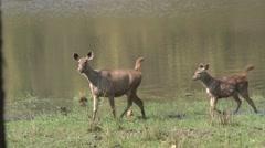 Sambar Doe Adult Fawn Family Alarmed Dry Wetland Stock Footage