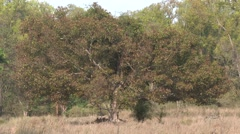 Trees & Shrubs Kanha National Park Dry Stock Footage