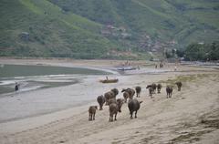 Indonesia, West Nusa Tenggara, Kabupaten Lombok Tengah, Kuta, Kuta Beach, Cow Stock Photos