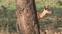Spotted Deer Doe Adult Young Several Walking Dry Cheetal Axis Chital Wetland - stock footage