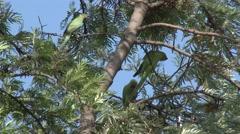 Rose-ringed Parakeet Several Stock Footage