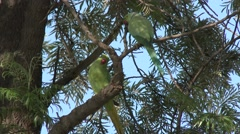 Rose-ringed Parakeet Adult Pair Resting - stock footage