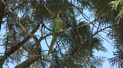 Rose-ringed Parakeet Male Adult Lone Flying Stock Footage