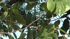 Rose-ringed Parakeet Male Adult Lone Camouflage Leaves - stock footage