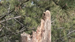 Black-capped Chickadee Adult Lone Flying Spring Stock Footage