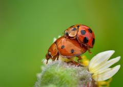 Indonesia, West Java, Bekasi, Mating ladybugs Stock Photos