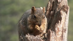 Fox Squirrel Adult Lone Feeding Spring Hands Face Holding Stock Footage